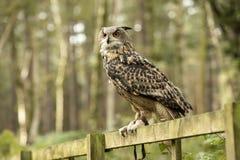 Сыч орла Eurasion, сидя на для того чтобы обнести забором лес стоковые фотографии rf