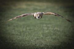 Летание сыча орла Стоковое фото RF
