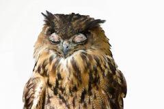 Сыч орла спать стоковое фото rf