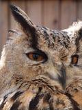 Сыч орла Turkmenian (omissus) bubo bubo (Falkenhof, Großer Feldberg, Hesse, Германия) Стоковое фото RF