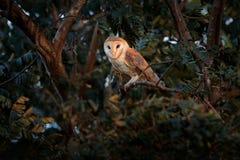 Сыч от Коста-Рика Волшебный сыч амбара птицы, сидя на ветви дерева в сцене живой природы леса света вечера Стоковая Фотография