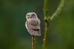 Сыч пигмея малой птицы евроазиатский, сидя на елевом стволе дерева с ясной темной ой-зелен предпосылкой леса, в среду обитания пр Стоковые Изображения RF