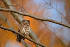 Сыч пигмея, сидя на ветви дерева с предпосылкой леса ясной темной осени оранжевой Евроазиатская tinny птица в среду обитания Крас стоковые фото
