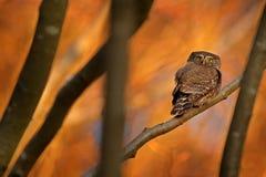 Сыч пигмея, сидя на ветви дерева с предпосылкой леса ясной темной осени оранжевой Евроазиатская tinny птица в среду обитания Крас стоковые изображения