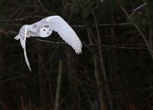 сыч полета снежный Стоковая Фотография
