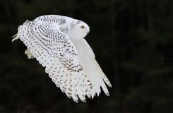 сыч полета снежный Стоковые Изображения RF