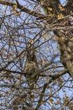 Сыч пряча в дереве Стоковая Фотография RF