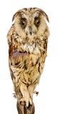 сыч птицы Стоковое фото RF