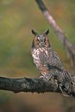 сыч птицы eared длинний стоковые изображения rf