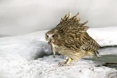 Сыч рыб ` s Blakiston, рыба задвижки в счете, самом большом живущем виде сыча, сыча рыб, сыча орла Звероловство птицы в холодной  Стоковая Фотография