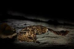 Сыч рыб ` s Blakiston, blakistoni Bubo, муха ночи с задвижкой, сычом рыб, подгруппой орла Звероловство птицы в холодной воде wild Стоковые Изображения