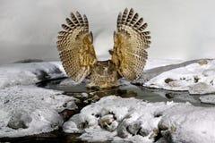 Сыч рыб ` s Blakiston, blakistoni Bubo, самый большой живущий вид сыча, сыча рыб, подгруппы орла Звероловство птицы в холодной во Стоковое Изображение