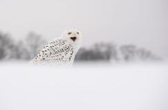 Сыч снега Стоковые Фотографии RF