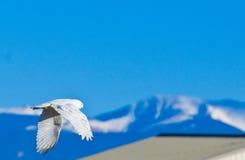 сыч снежный Стоковое Фото