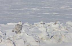 сыч снежный Стоковая Фотография