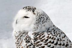 сыч снежный Стоковое Изображение RF