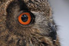 сыч стороны орла евроазиатский Стоковое Изображение