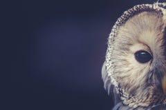 Сыч с подбитыми глазами Стоковое Фото