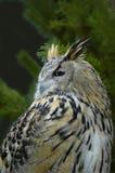 сыч утра орла Стоковая Фотография RF