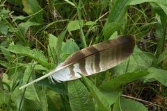 Сыч хищной птицы пера стоковые фотографии rf