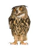 сыч 22 месяцев орла bubo евроазиатский Стоковая Фотография