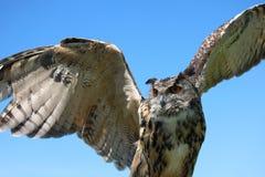 сыч eurasian орла стоковая фотография
