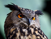 сыч eurasian орла Стоковое фото RF