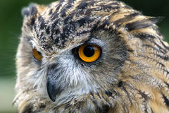сыч eurasian орла bubo Стоковая Фотография RF