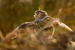 сыч eurasian орла bubo Стоковые Изображения RF