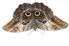 сыч memnon caligo бабочки стоковые фото