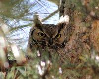 Сыч Peeking от сверкная дерева стоковые фотографии rf