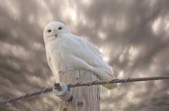 сыч saskatchewan Канады снежный Стоковые Изображения