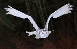 Сыч Snowy летая справедливо на вас Стоковая Фотография