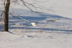 Сыч Snowy летая низко над полем Snowy стоковое фото rf