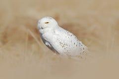 Сыч Snowy, птица с желтым цветом наблюдает сидеть в траве, сцена с ясным передним планом и предпосылка, в среду обитания природы, Стоковая Фотография