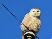 Сыч Snowy установил против голубого неба, Rye NH; Стоковая Фотография RF