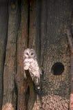 Сыч Ural (uralensis Strix) садясь на насест на деревянной ветви дерева стоковое фото rf