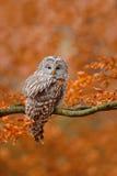 Сыч Ural, uralensis Strix, сидя на ветви дерева, на оранжевом лесе дуба листьев Стоковое фото RF