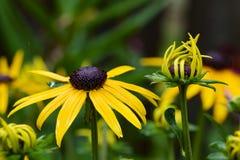 Сьюзан Черно-наблюданное садом Стоковое Изображение RF