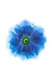 Сюрреалистические голубые цветки макроса Сакуры изолированные на белизне Стоковое фото RF