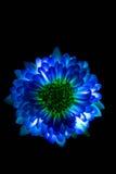 Сюрреалистический синий макрос георгина цветка изолированный на черноте Стоковые Фотографии RF