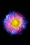 Сюрреалистический темный розовый макрос георгина цветка изолированный на черноте Стоковое Фото