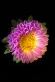 Сюрреалистический темный розовый макрос георгина цветка изолированный на черноте Стоковая Фотография