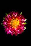 Сюрреалистический темный розовый макрос георгина цветка изолированный на черноте Стоковые Изображения