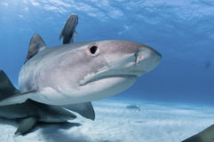 сярприз акулы Стоковое Изображение RF