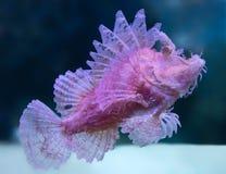 Слабый scorpionfish стоковые изображения