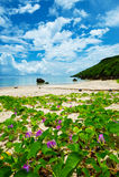 Слава утра пляжа в pes-caprae Побережь-ипомея ARAGUSUKU, o Стоковые Изображения