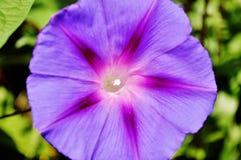 Слава утра, цветок purpurea ipomea открытый Стоковое фото RF