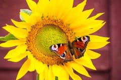 Славная бабочка цвета садить на насест на солнцецвете Стоковая Фотография