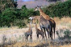 Славная группа в составе семьи жирафы Стоковое Фото